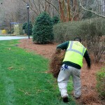pine straw enhancement